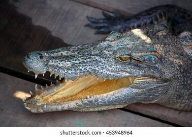 Crocodile head detail