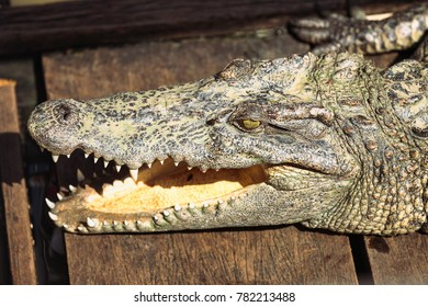 Crocodile head detail in Cambodia