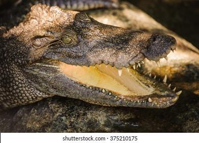 The crocodile head  in Thailand close up
