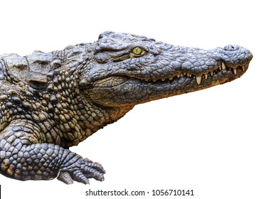 Crocodile isolated on the white background
