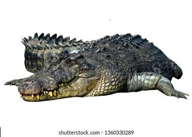 crocodile isolated on white background. Photos of freshwater crocodiles.