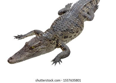 crocodile isolated on white background - clipping paths.