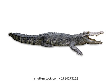 Crocodile isolated on white background with clipping path