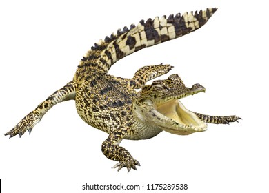 Crocodile with isolated white background.