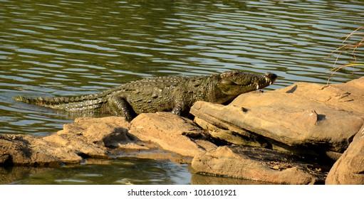 crocodile in kali river Dandeli