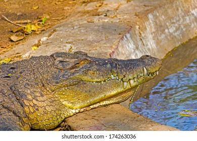 Crocodile in Kankariya zoo, Ahmadabad, Gujarat