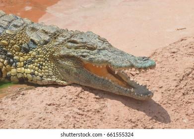 crocodile left