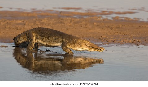 Crocodile in the Luangwa river, Zambia