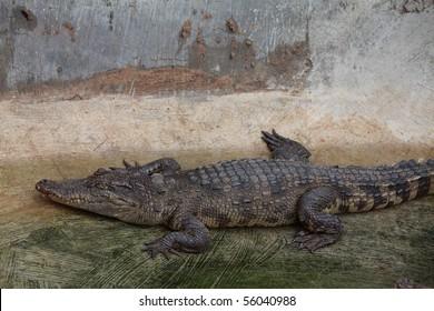 Crocodile lying on the bank