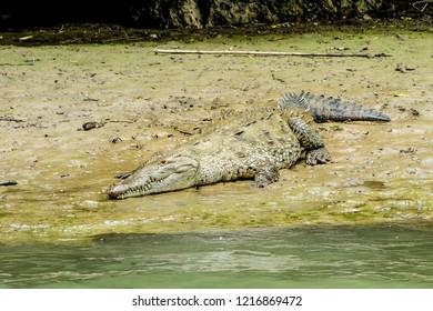 Crocodile lying on the sand next to the Rio Grijalva. Sumidero canyon, Chiapas, Mexico.