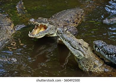 Crocodile Masai Mara National Park in Kenya