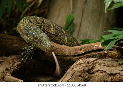 A Crocodile Monitor Lizard seeks out food in its enclosure