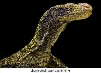 Crocodile monitor (Varanus salvadorii) is a giant lizard species
