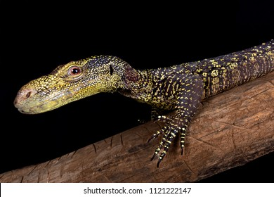 The Crocodile monitor (Varanus salvadorii) is the longest lizard species in the world.
