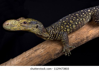 The Crocodile monitor (Varanus salvadorii) is the longest lizard species in the world. These tree dragons are endemic to Papua New Guinea and West Papua,Indonesia.