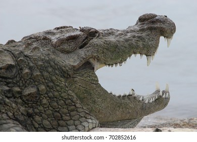 Crocodile with mouth open