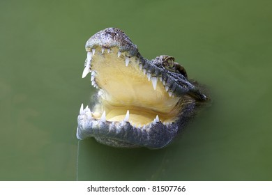 Crocodile with mouth open head above water