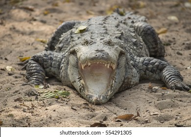 Crocodile mouth opened front view