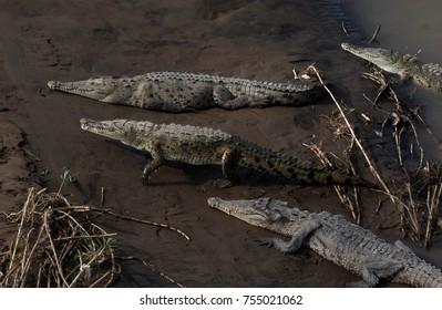 Crocodile in mud in Costa Rica