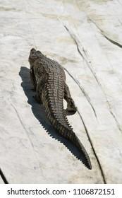 crocodile in the nature