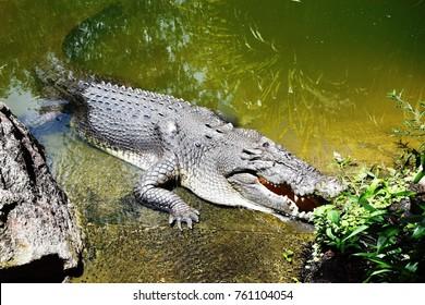 Crocodile, near Daintree River, Cairns, Queensland, Australia