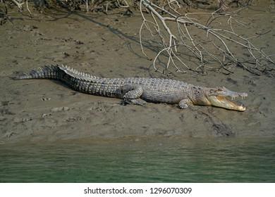 Crocodile near the fallen tree in Sundarbans in India