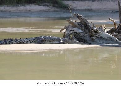 Crocodile near water