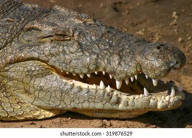 Crocodile on the banks of the Mara River, Masai Mara, Kenya