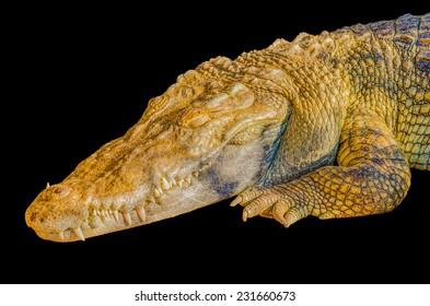 crocodile on black background.