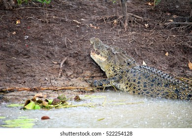 crocodile on muddy bank pictured in Yellow Water Billabong