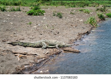 crocodile on the shore of Tarcoles river, Costa Rica