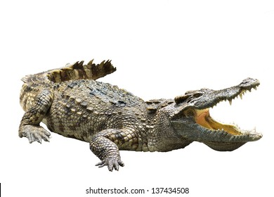 crocodile on white background crocodile on white background  strength predator powerful alligator carnivore dangerous crocodile amphibian aggressive aggression wilderness farm crocodile in thailand