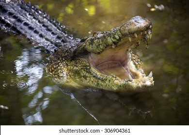 Crocodile with open mouth.