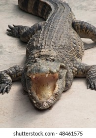 crocodile with open mouth facing the viewer, closeup shot