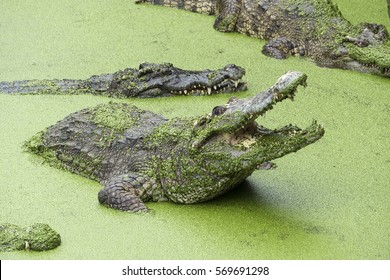 Crocodile with open mouth in the lake among the green slime