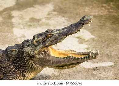 Crocodile with open mouth lying in farm, Thailand