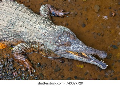 Crocodile with open mouth, on the river bank with clear water, photographed from above. Caiman or alligator - aquatic reptiles, lives in tropics.