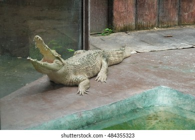 crocodile Open mouth in the park