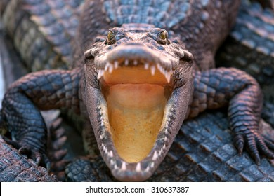 A crocodile opened his mouth and his eyes looked fierce.