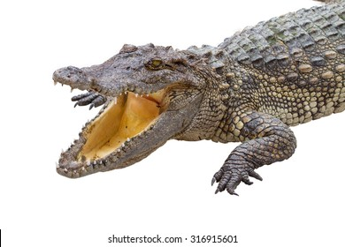 crocodile opened its mouth on a white background.