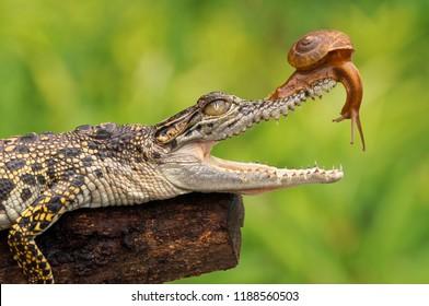 the crocodile opens its mouth, crocodile