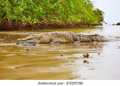 Crocodile, Panama, Central America