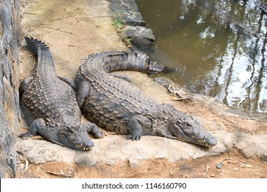 The crocodile park in Mauritius. The crocodile lies on a floor in a zoo, having widely opened a mouth, the top view