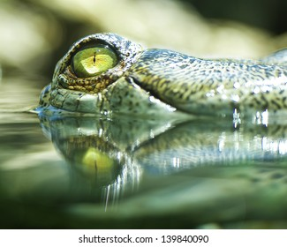Crocodile peeking out of the water.