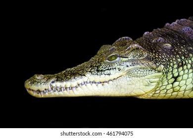 Crocodile in a profile on a black background