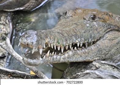 Crocodile ready to bite