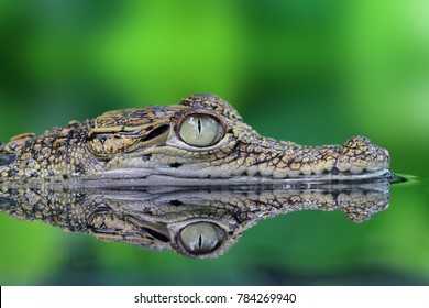 Crocodile, Crocodile in reflection