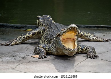 crocodile resting on the ground