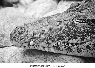 Crocodile resting on the rock in the zoo.smiling.with white sharp teeth