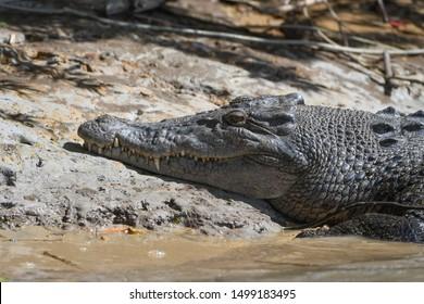 crocodile at the river bank